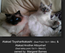 Atakad Toysharlkakashi  (Seal Point 13c1~ SBIn)  &   Atakad Another Attoysharl    (Seal tabby point 13c11~ SBIn21) owned by  Margaret Barnes