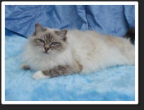Krystal was a Blue Tabby Point 13c12. She was Sired by Gr.Ch. Atakad Sealof Approval (Seal Point 13c1) out of Atakad Keepinup Apearances (Blue Tabby Point 13c12).