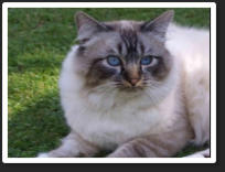 "Bass was a Seal Tabby Point (13c11) He was sired by Uk. & Imperial Gr.Ch. & Pr.Shwechinthe Shwenat (13c3) out of Narakkha Blues Bella Babe (13c12) ""Bass"" was also TICA 2011 / 12 second best Seal Lynx (tabby) Point / Gloved Birman of the year"